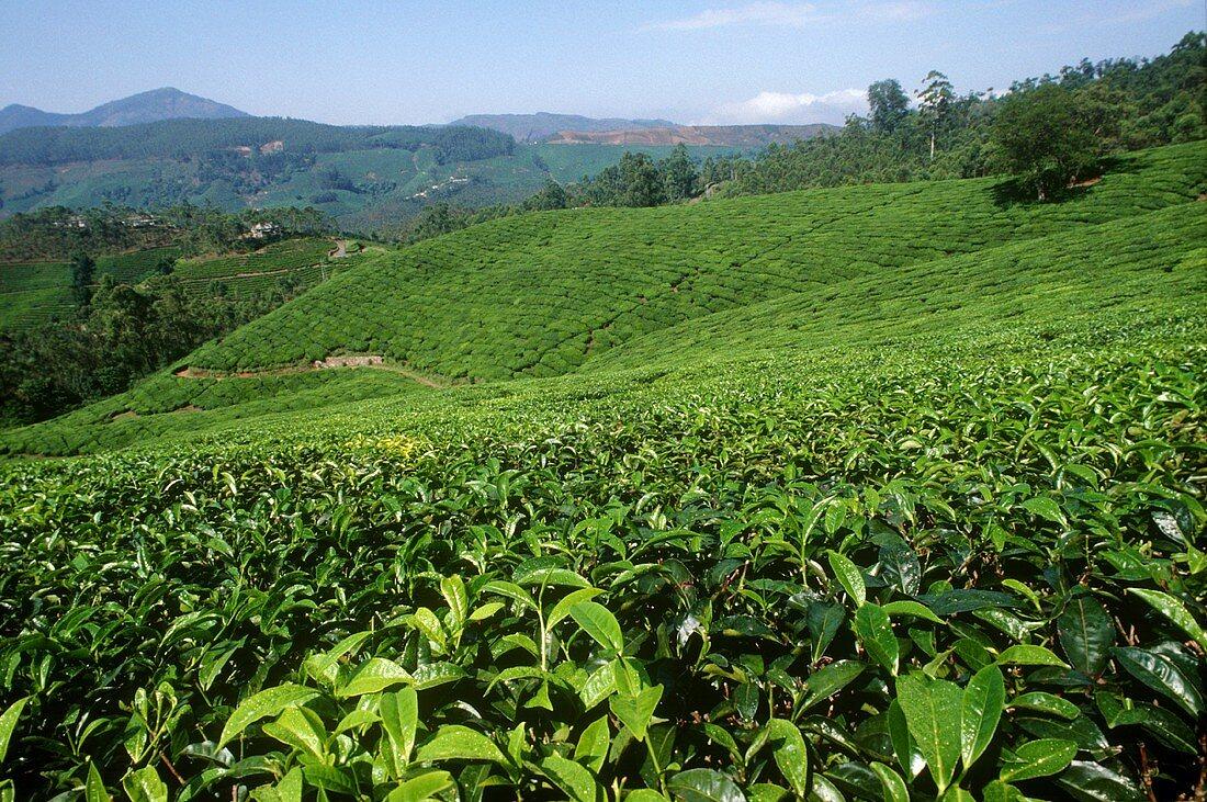 Tea plantation in Munnar, Kerala State (India)