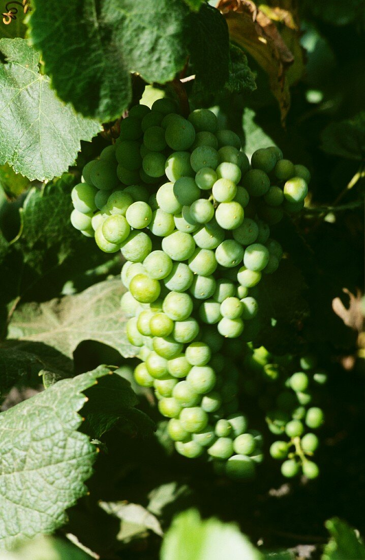 Malvasia grapes on the vine, La Geria, Lanzarote