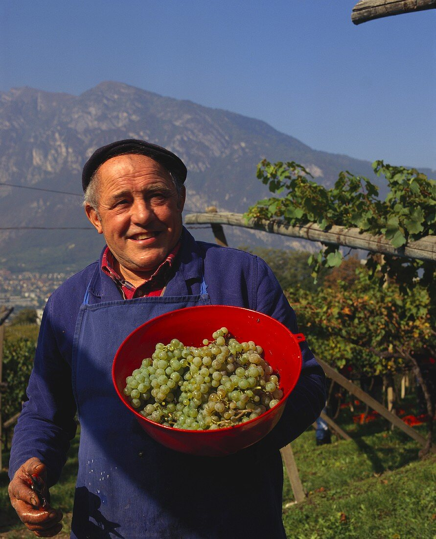 Grape-picker showing Pinot Blanc grapes, Trentino, Italy