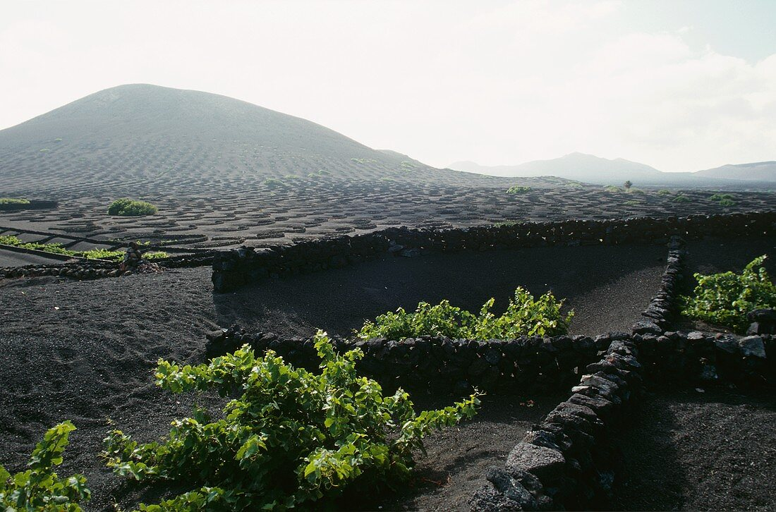 Stone walls as wind protection for vines, La Geria, Lanzarote