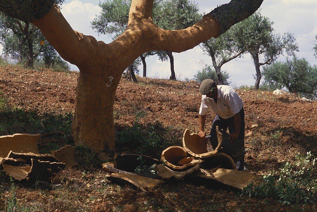Mann schält Korkeichen in Portugal