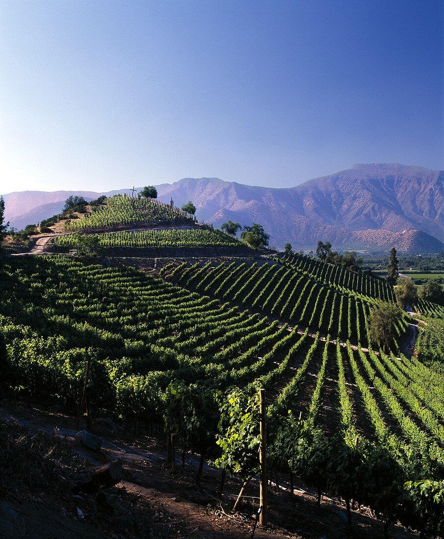 Weinberge von Don Maximiano im Aconcagua-Tal, Chile