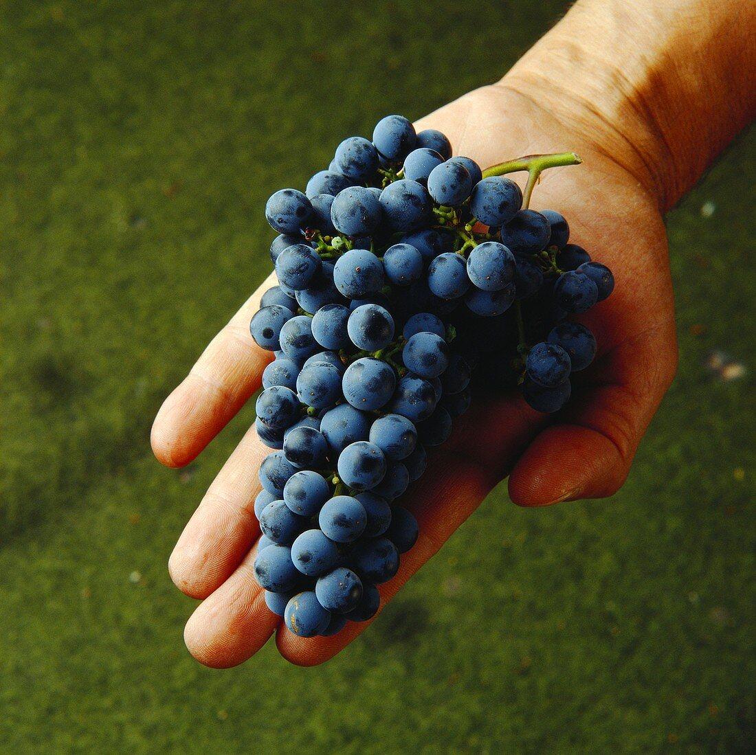 Hand showing fresh Cabernet-Sauvignon grapes, Maipo, Chile