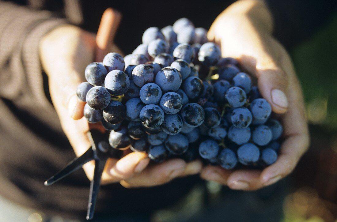 Grenache grapes, Domaine Hauvette, les Baux-de-Provence