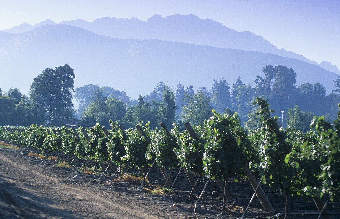 Errazuriz-Panquehue wine region, Aconcagua Valley, Chile