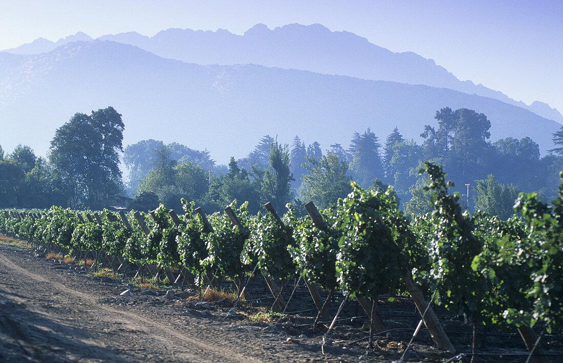 Weinanbaugebiet Errazuriz-Panquehue, Aconcaguatal, Chile