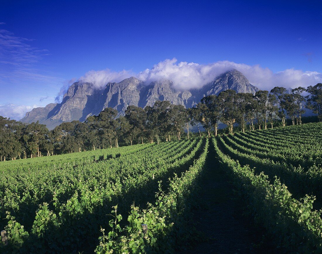 Thelema Winery against Groot Drakenstein Mountains, S. Africa