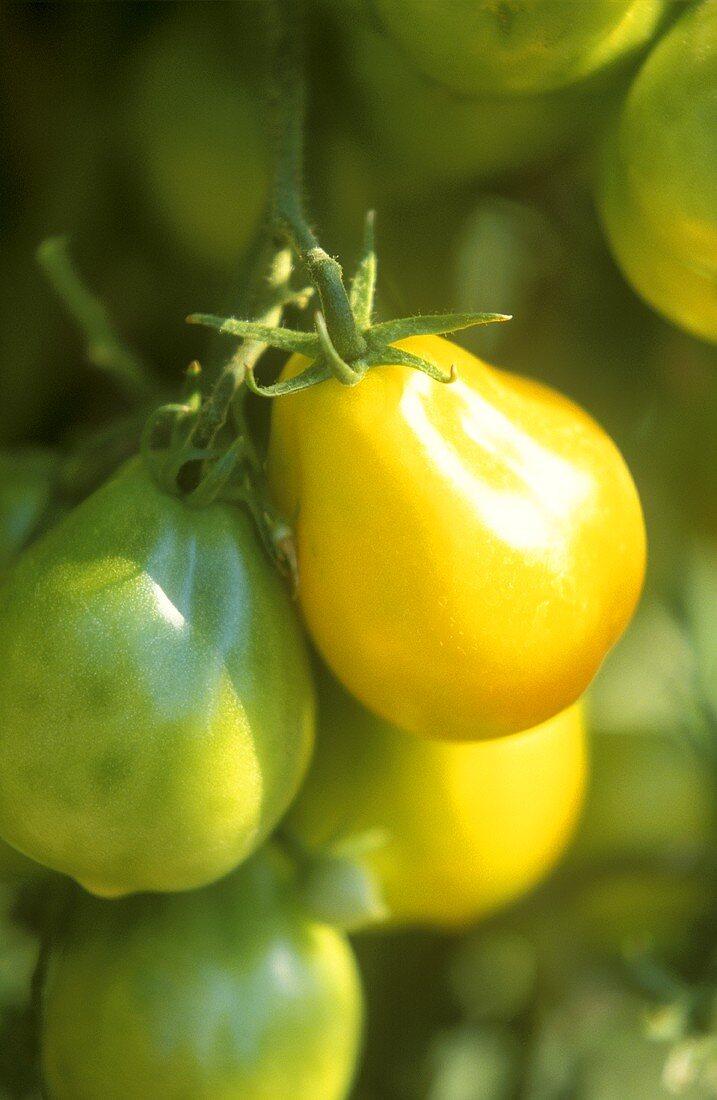 Yellow tomatoes on the vine, Lemon Tree variety