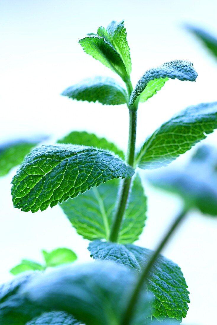 Peppermint (Mentha x piperita, close-up)