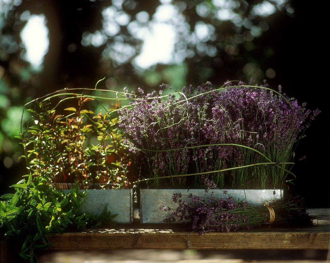Lavender and mint in window boxes