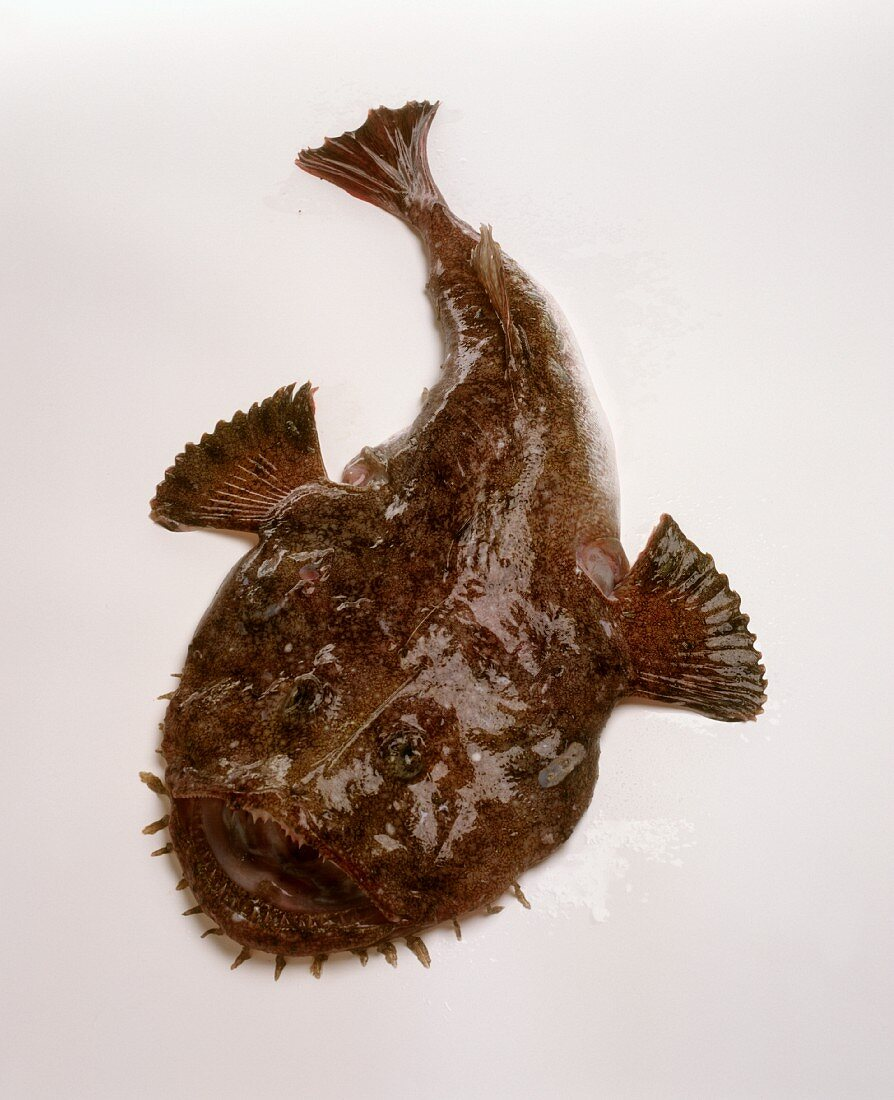 Monkfish (also called anglerfish, has a kind of fishing rod on its head)