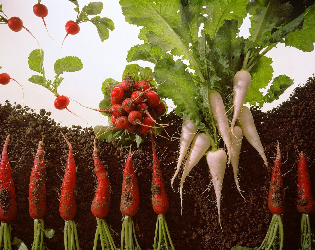 Small and large radishes with soil on a sheet of glass