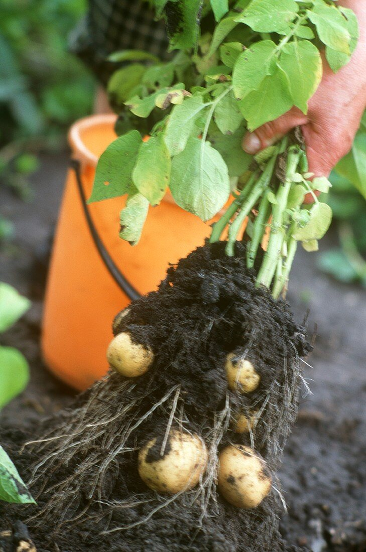 Pulling potato out of the soil
