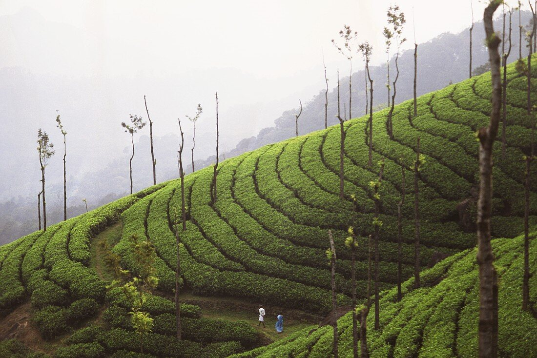 Tea-growing on terraces in Munnar (Kerala State, India)