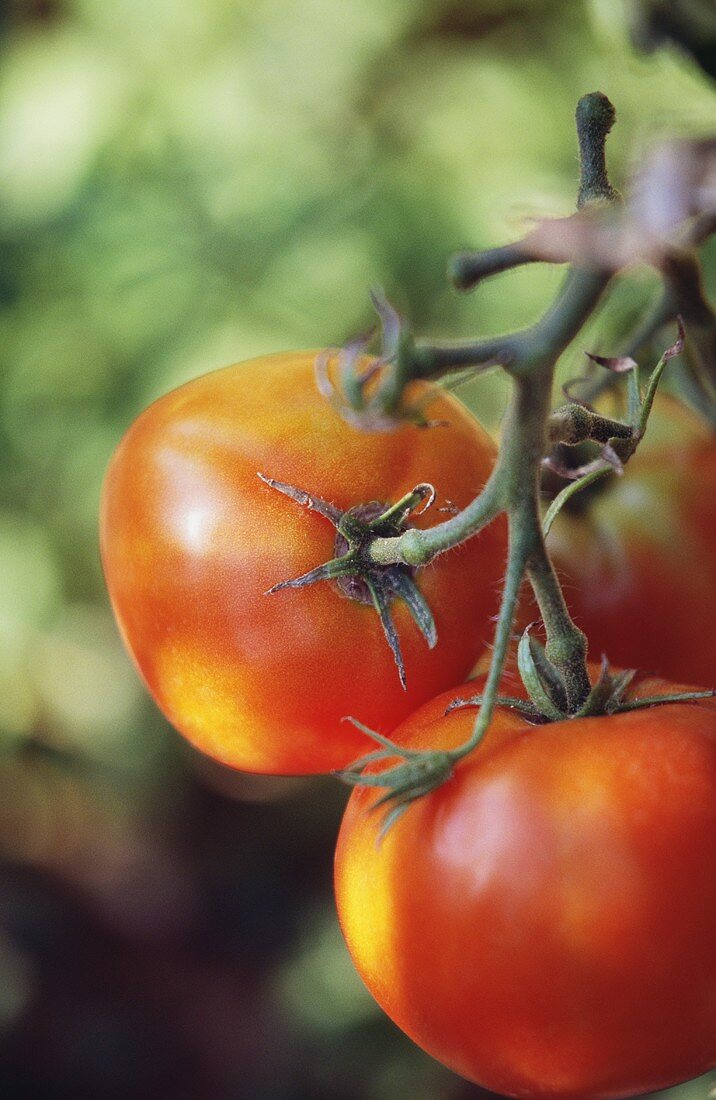 Tomatoes, variety 'St. Pierre', on the vine