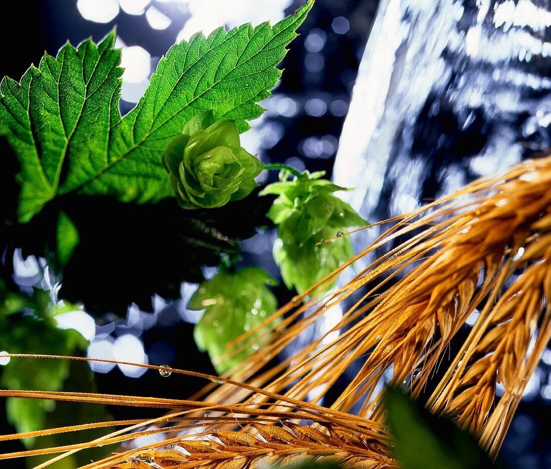 Main components of beer: hops, water and barley