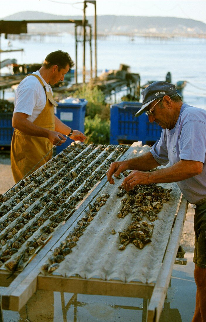 Men fastening oysters into growing trays, Bouzigue, France