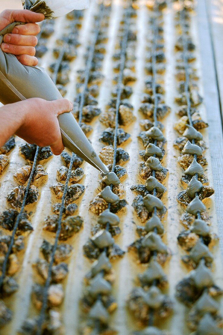 Oysters being fastened on to growing trays, Bouzigue, France