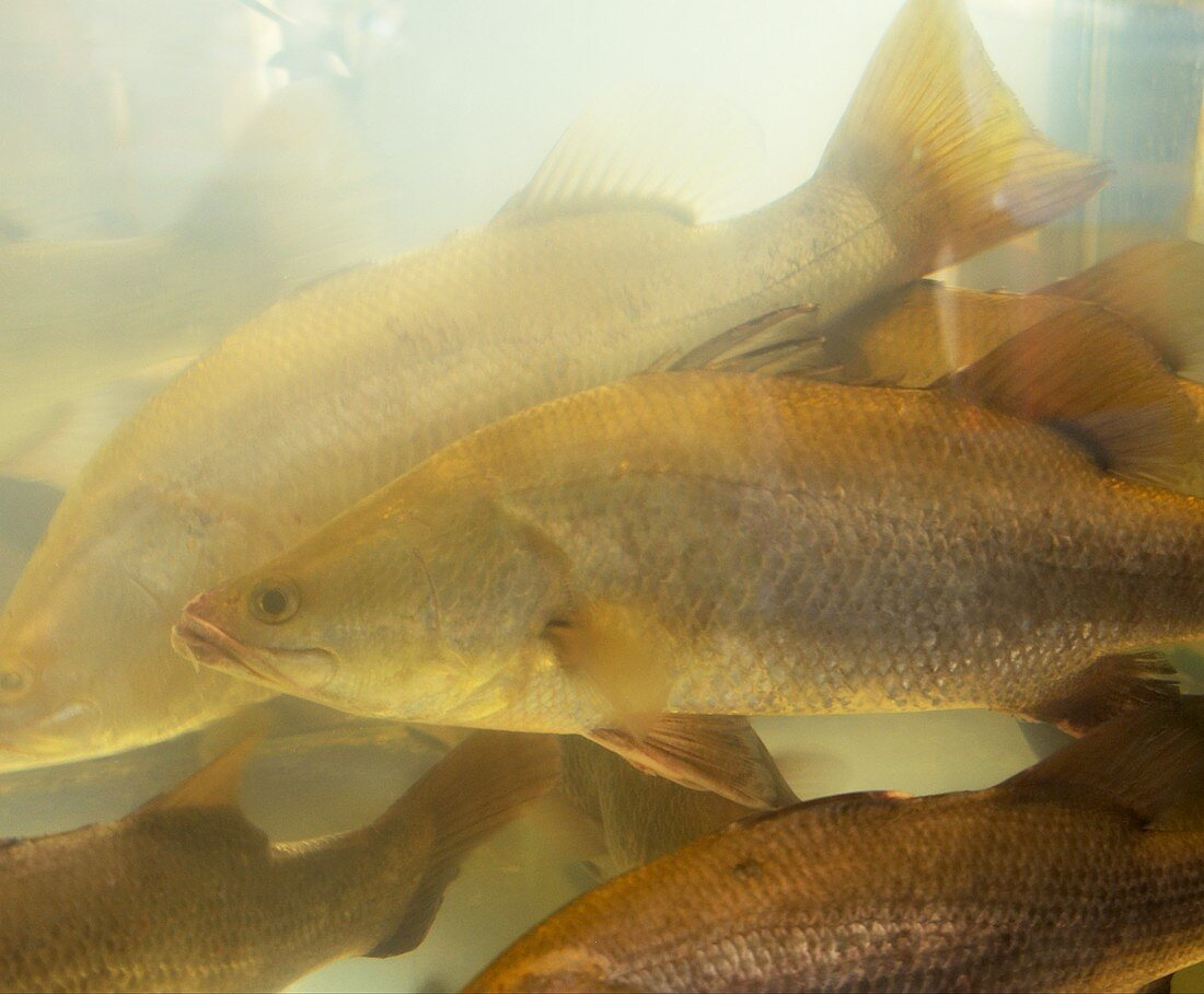 Several perch in a tank of water