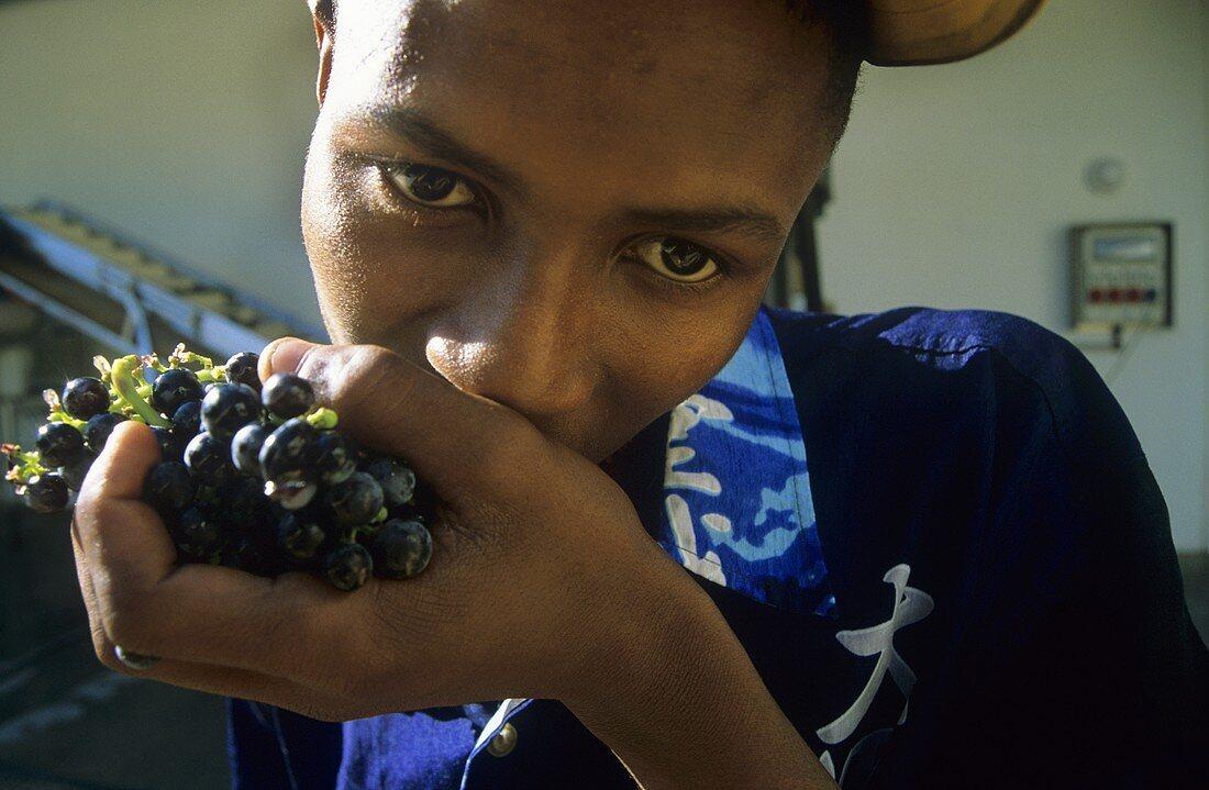Winery worker eating Merlot grapes, Morgenster Estate, S. Africa