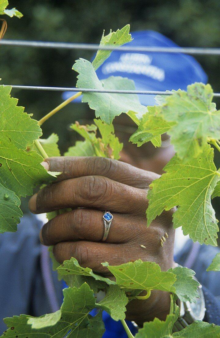 Female vine worker, Klein Constantia Estate, S. Africa