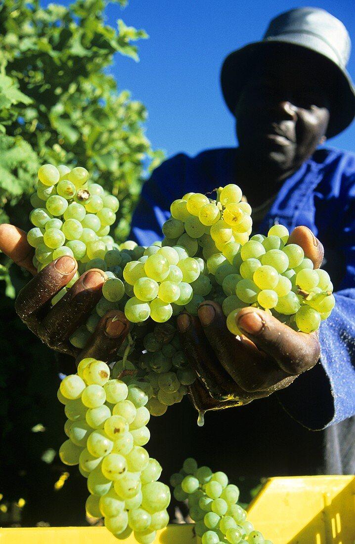 Grape picker with Sauvignon Blanc grapes, Walker Bay, S. Africa