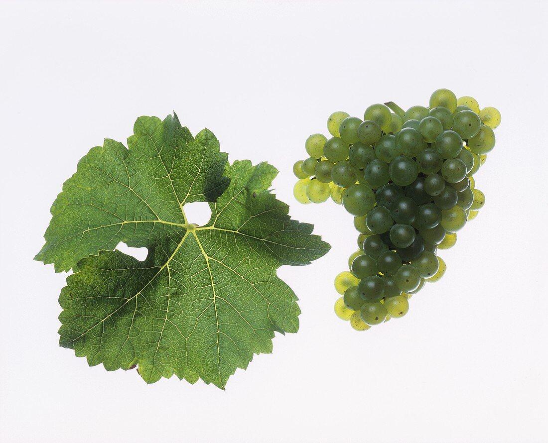 Müller-Thurgau grapes with vine leaf