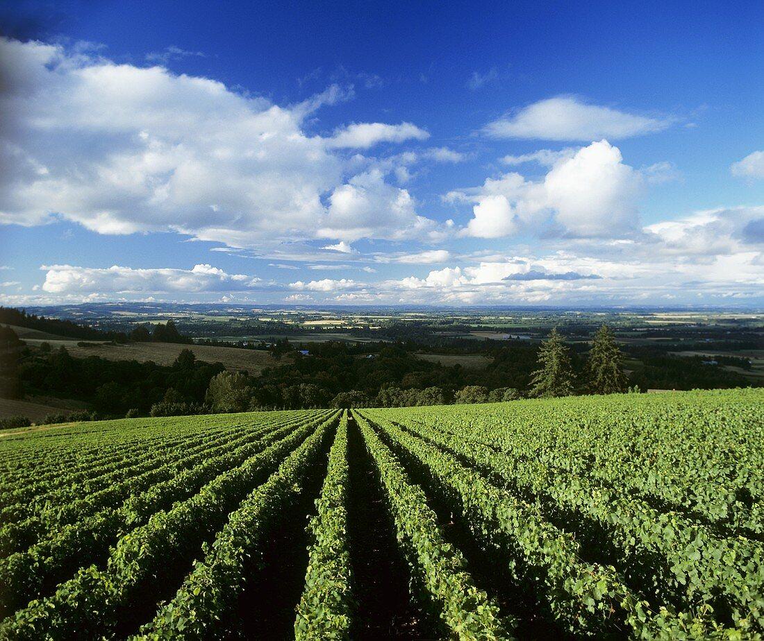 Vineyard of Domaine Drouhin, Dundee, Willamette Valley, Oregon, USA