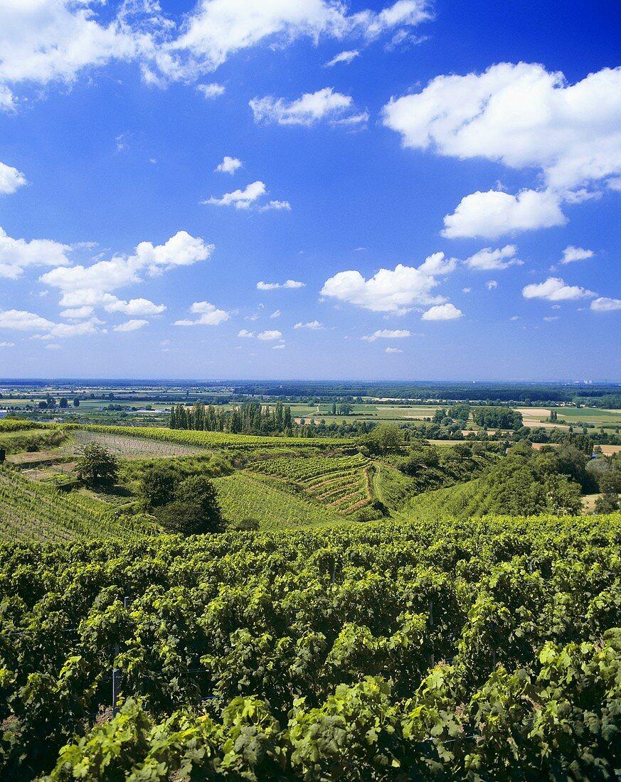 Vineyards around Bensheim, Hessische Bergstrasse, Germany