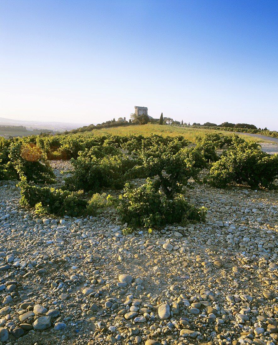 Vineyard, Châteauneuf-du-Pape, southern Rhône valley, France