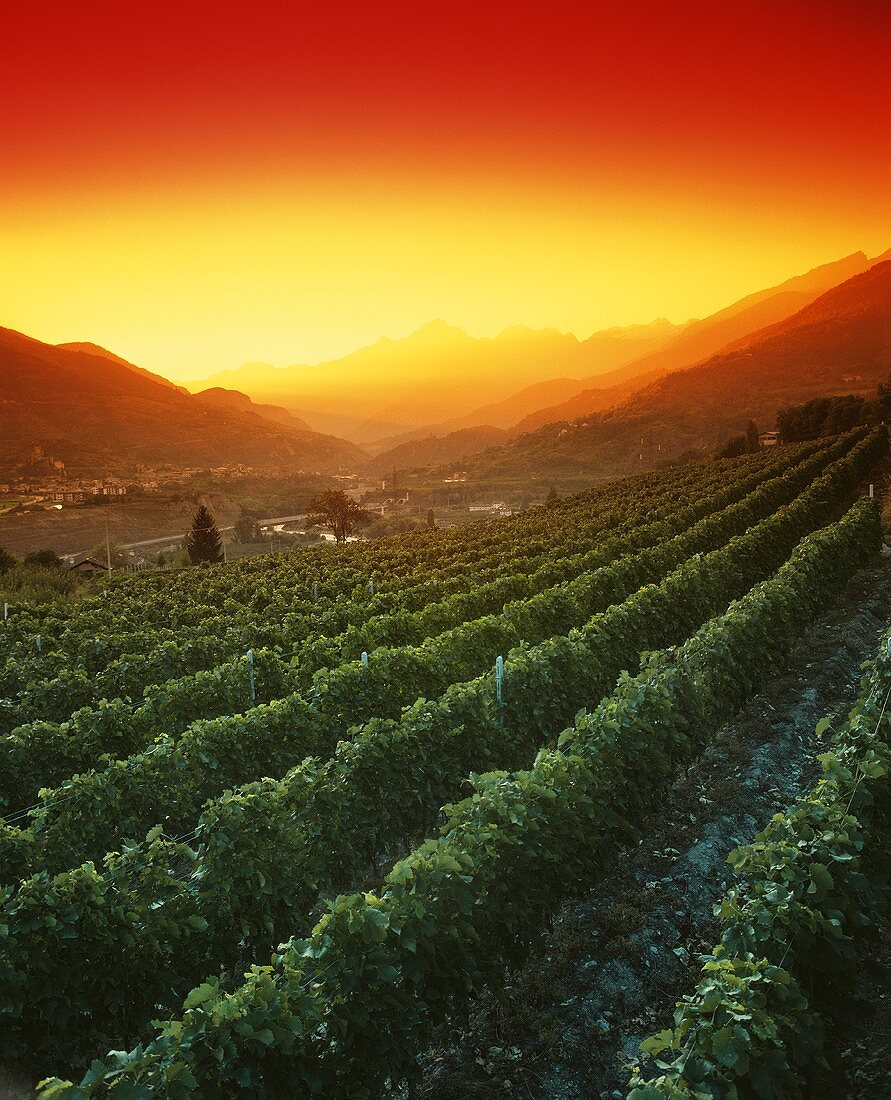 Vineyards at sunset in Aosta valley, Italy