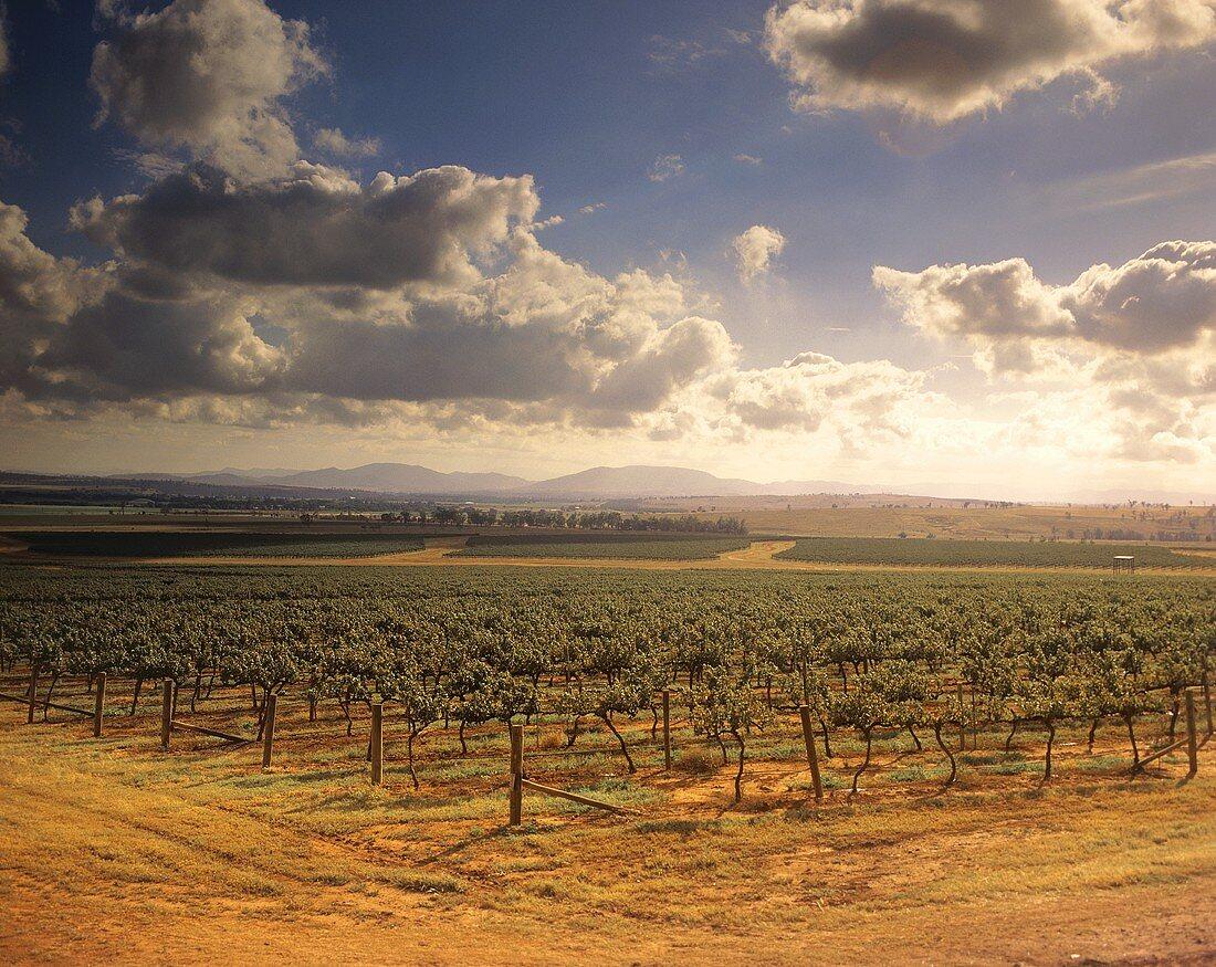 Roxburgh Vineyard, Upper Hunter Valley, NSW, Australia