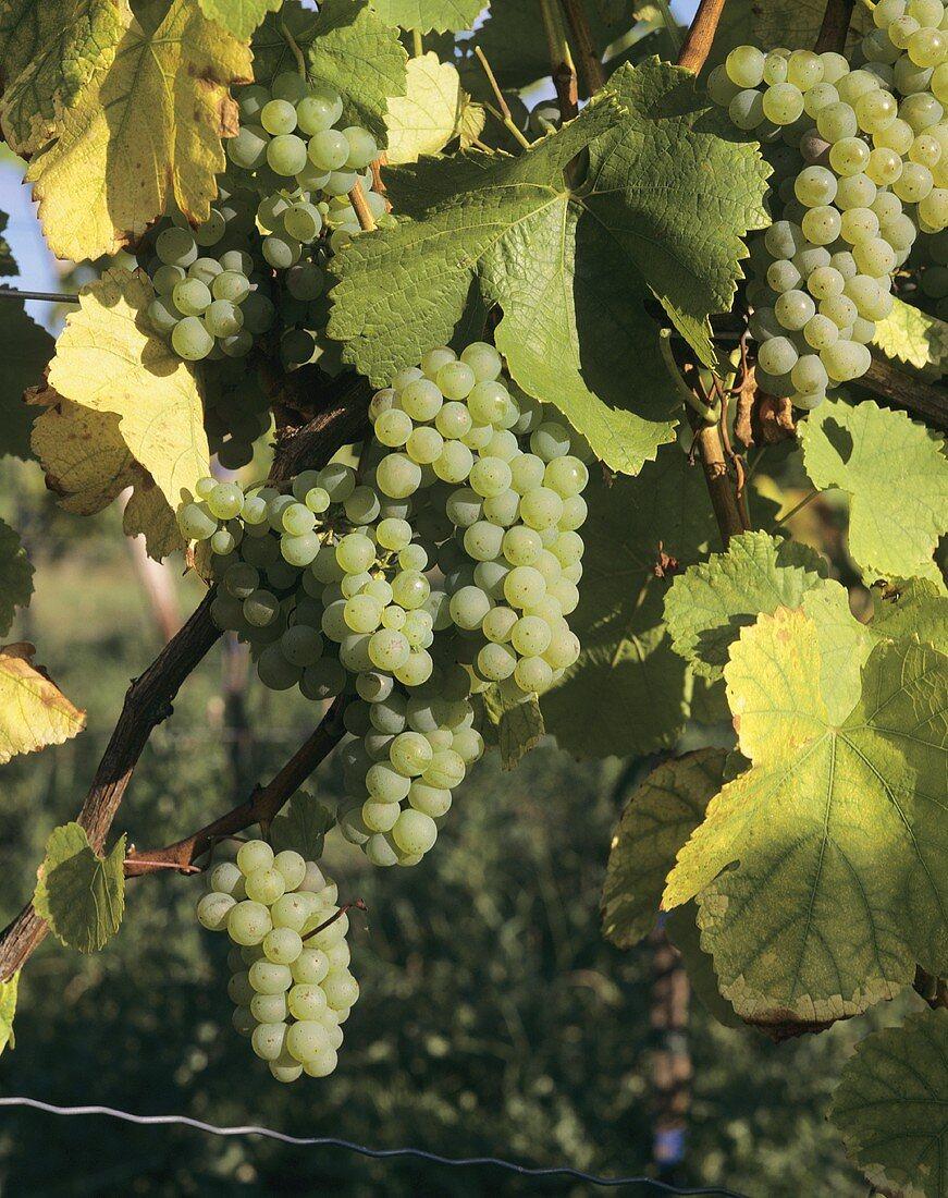 Viognier, unusual vine variety in Condrieu in Rhone Valley