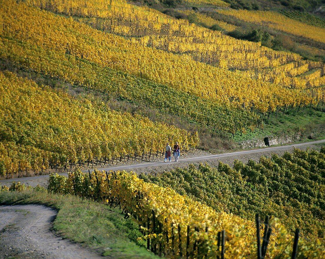Vineyard near Bad Krozingen, Markgräflerland, Baden, Germany