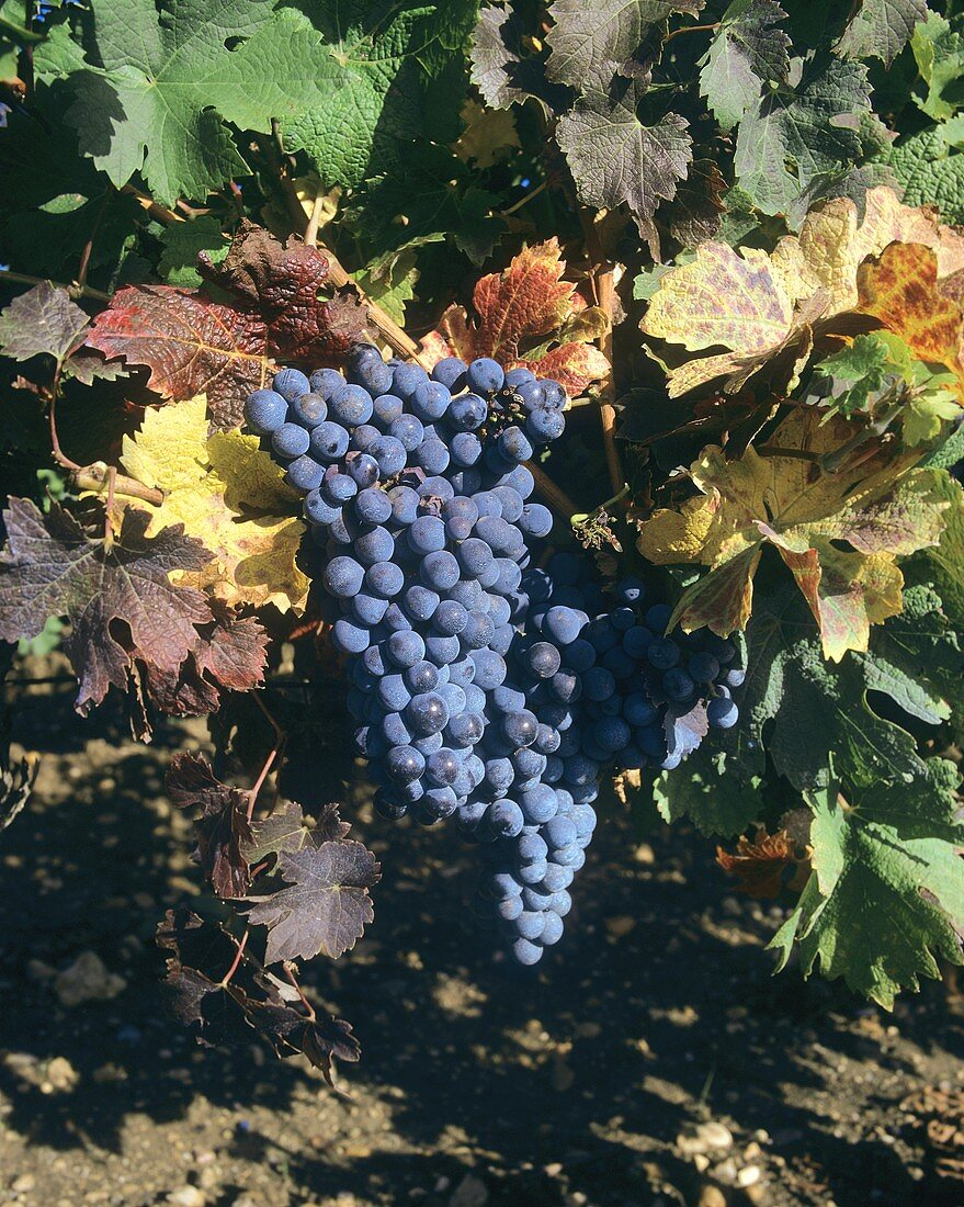 Merlot, red wine grapes