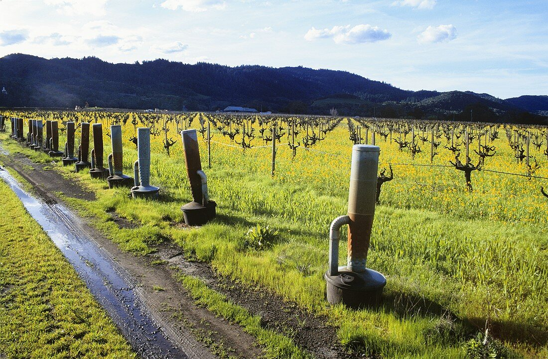 Oil heaters for frost protection in vineyard, Napa Valley, Calif