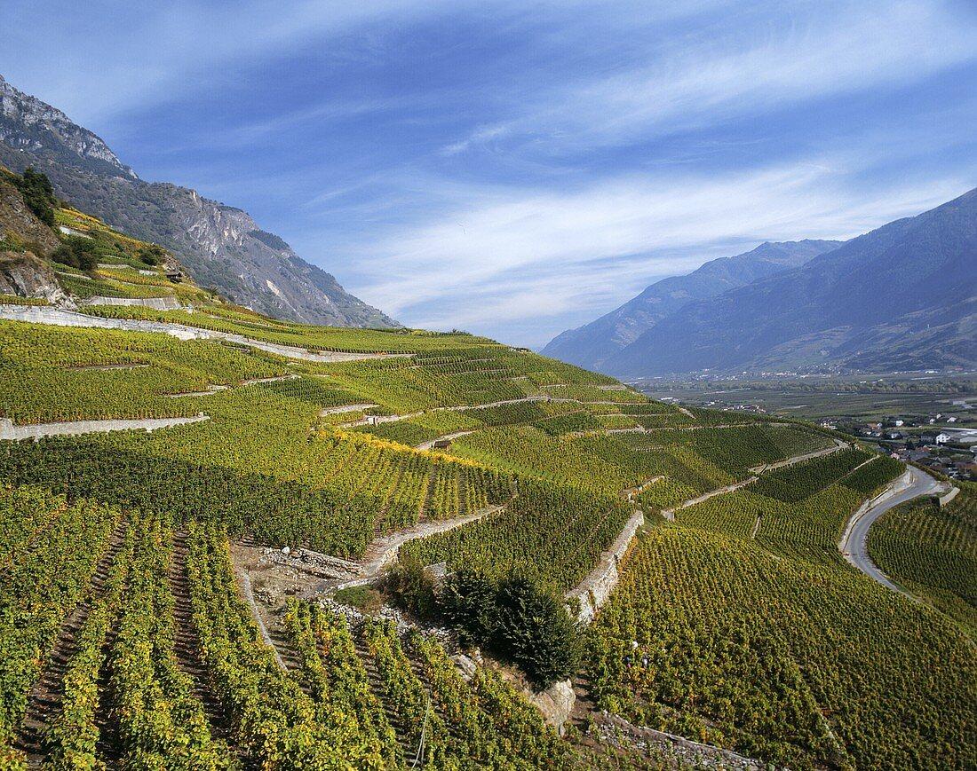 Vineyard near Saillon in the canton of Valais, Switzerland