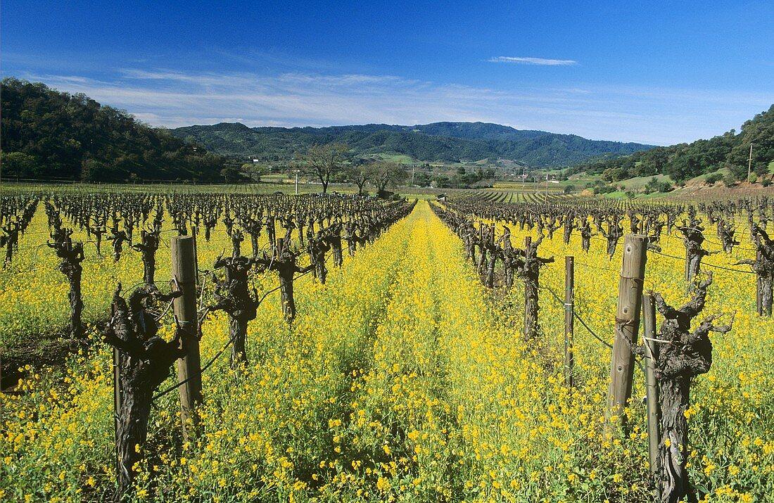 Charlock at Shafer Winery, Napa Valley, California, USA