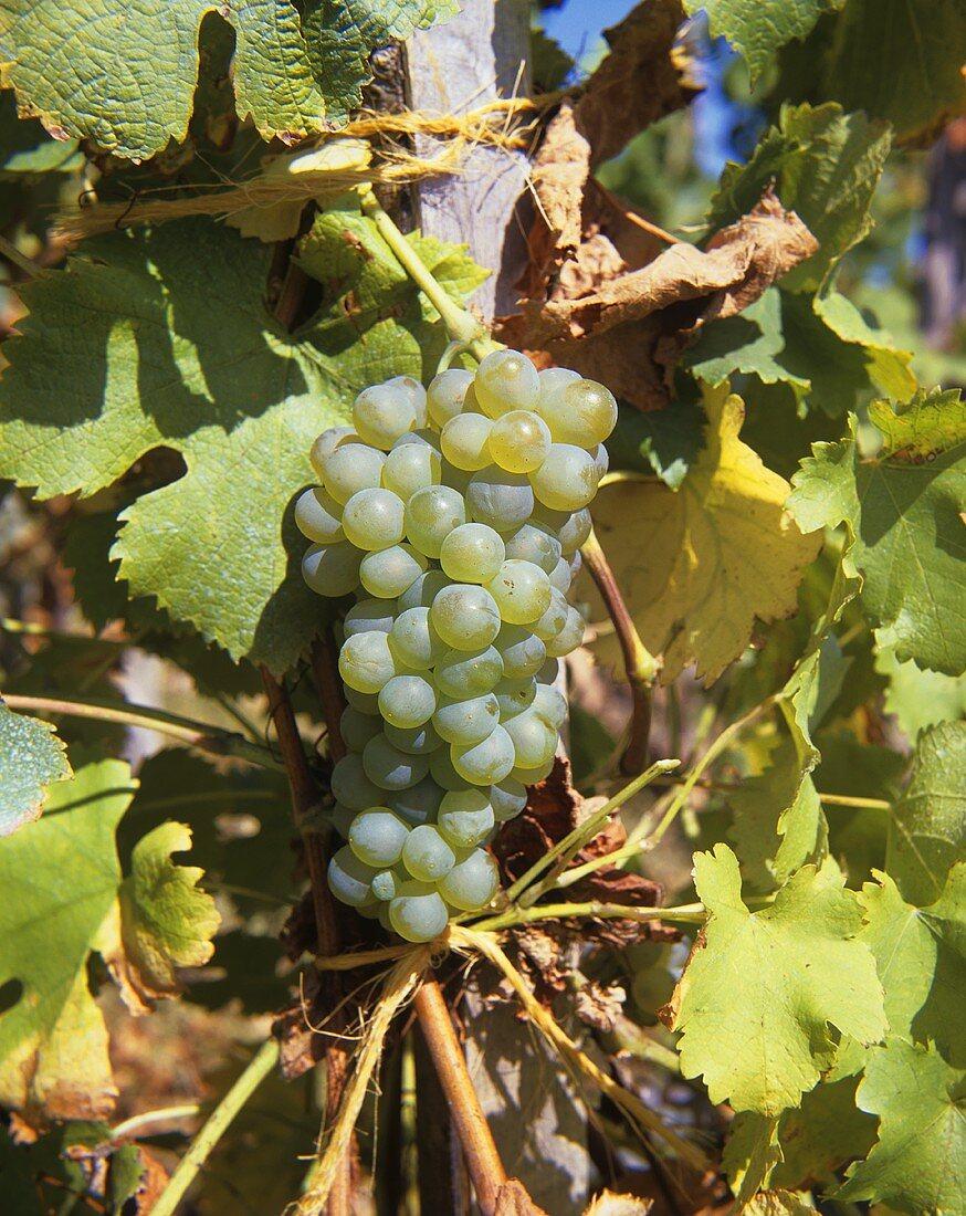 Scheurebe - a new white wine variety