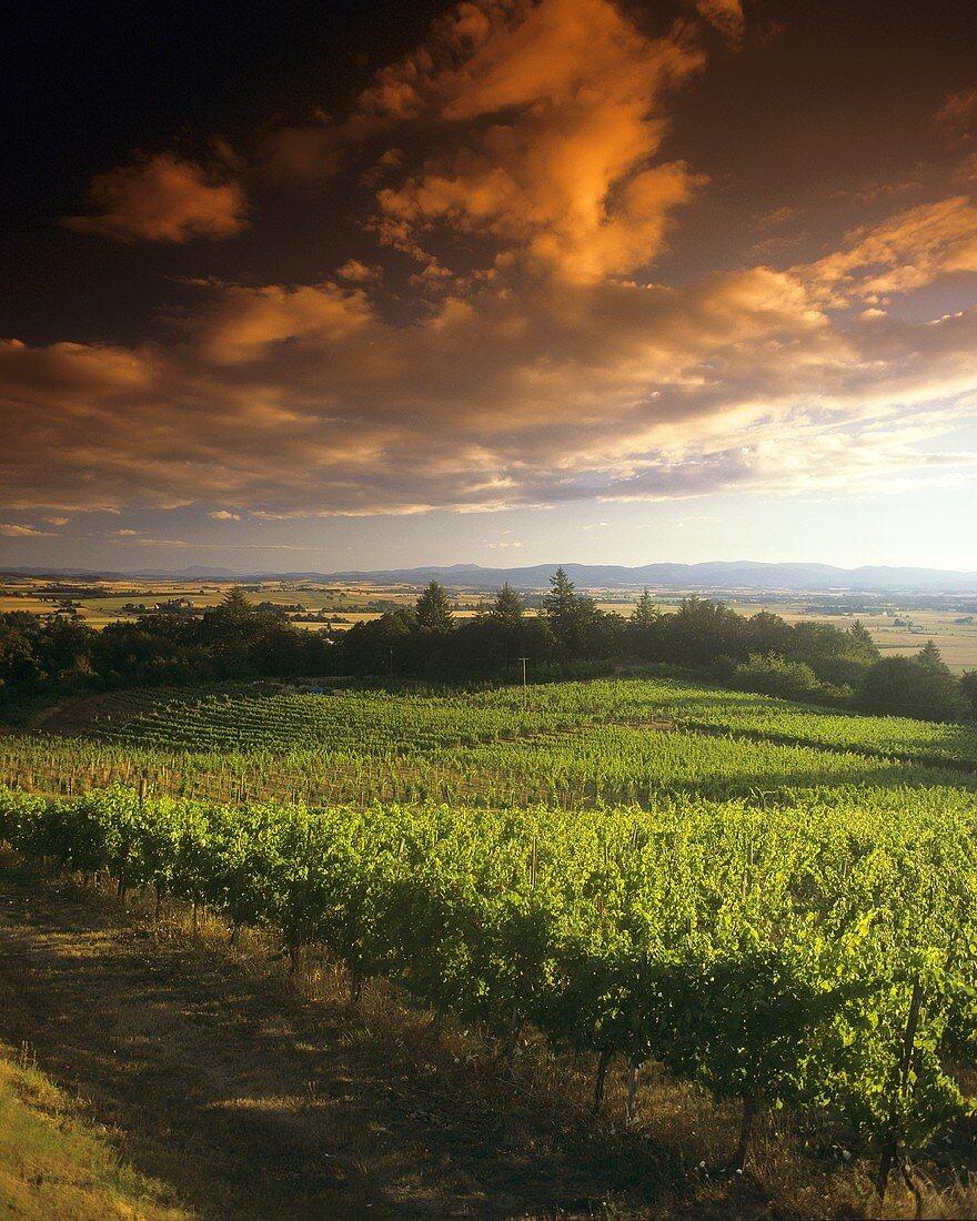 Vineyard at Elk Cove Vineyards, Newberg, Oregon, USA