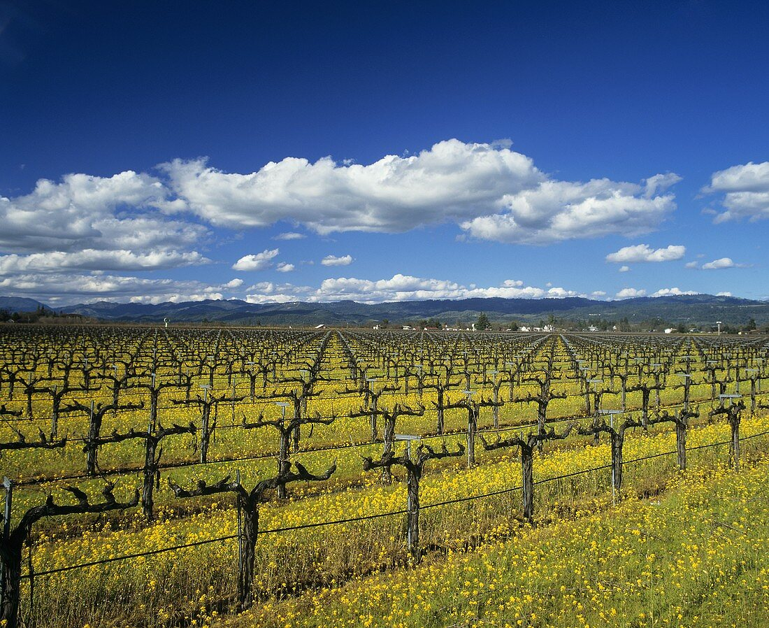 Mustard flowers in Napa Valley wine region, California, USA