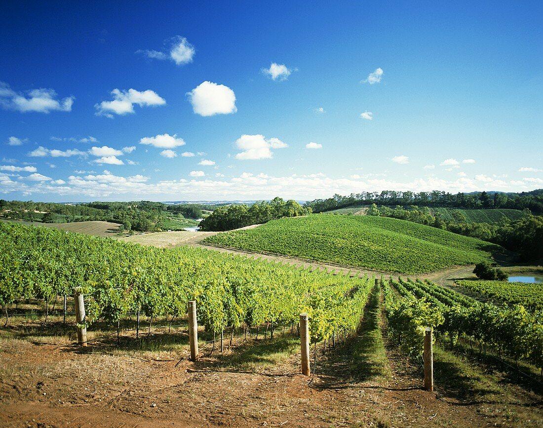 Lenswood-Weinberg, Adelaide Hills, Südaustralien