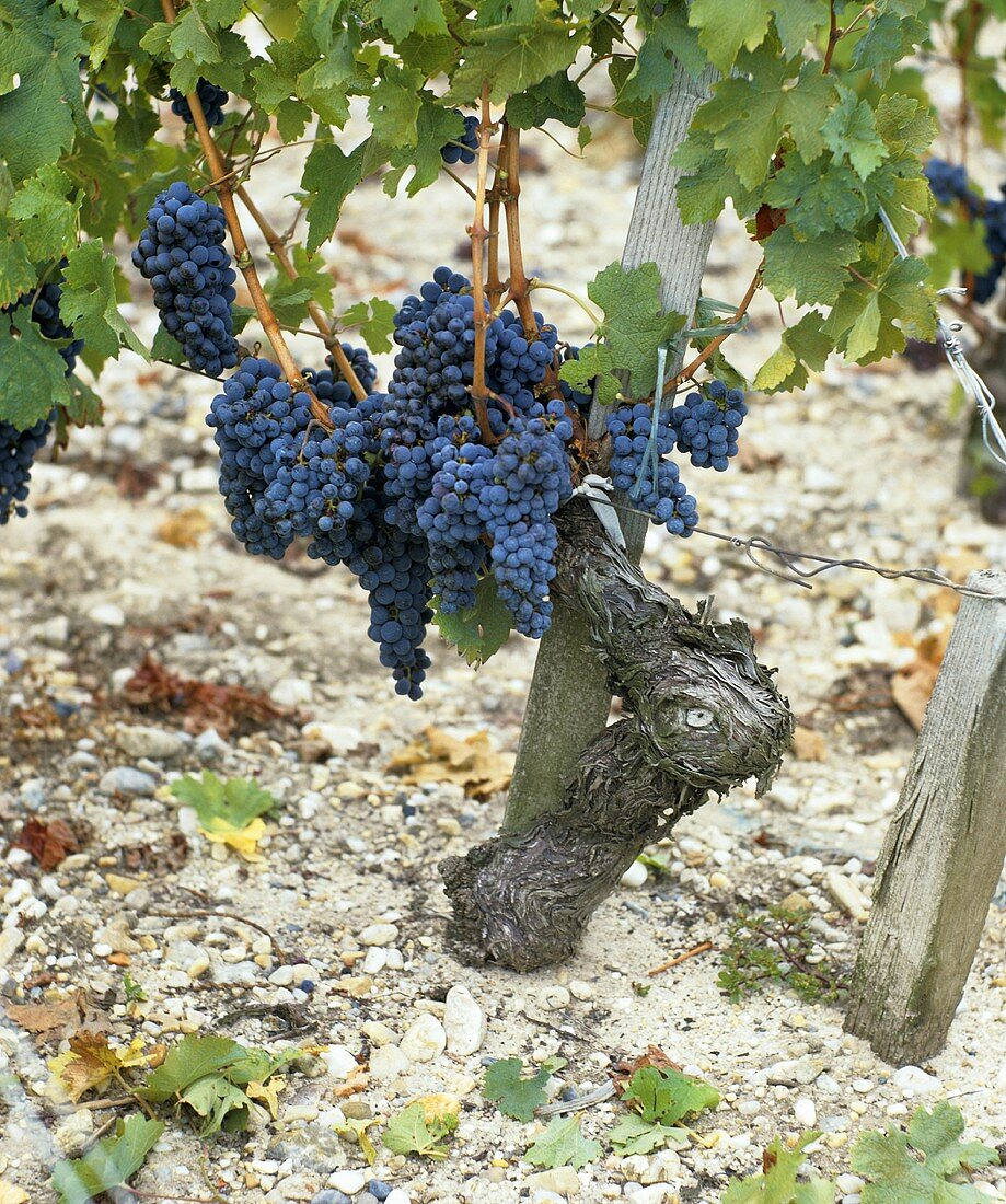 Cabernet Franc grapes on vine