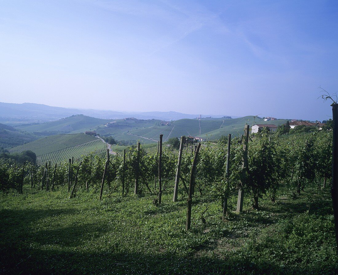 Landscape of vines in Piedmont, Italy