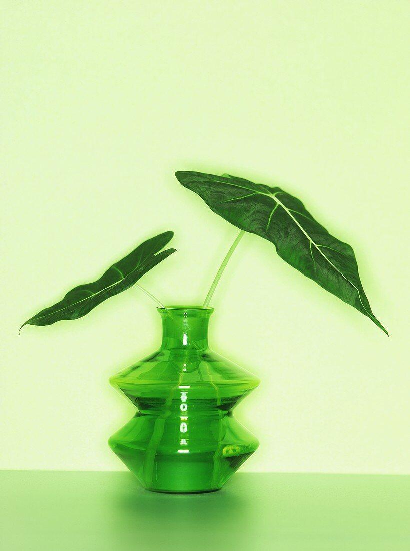 Alocasia micholitziana in a green vase