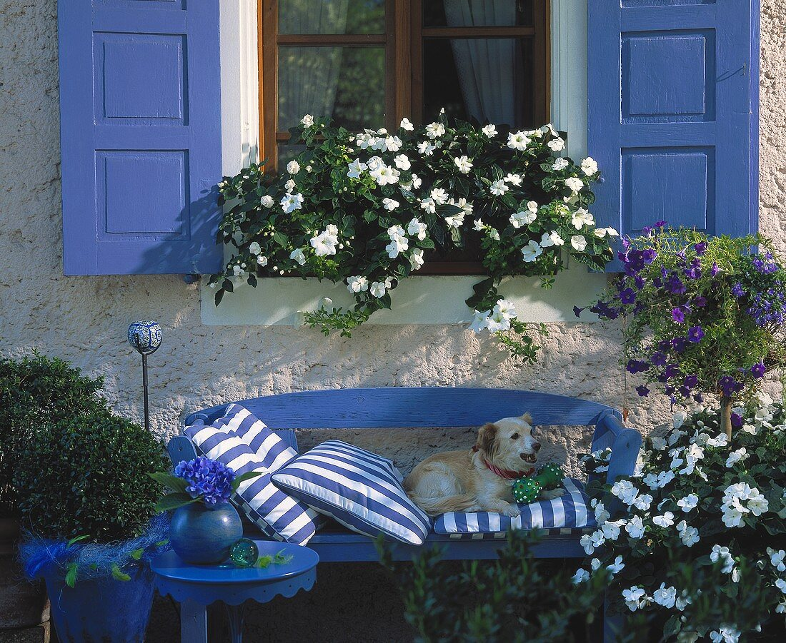 Bench with dog, surrounded by white Impatiens & blue Solanum
