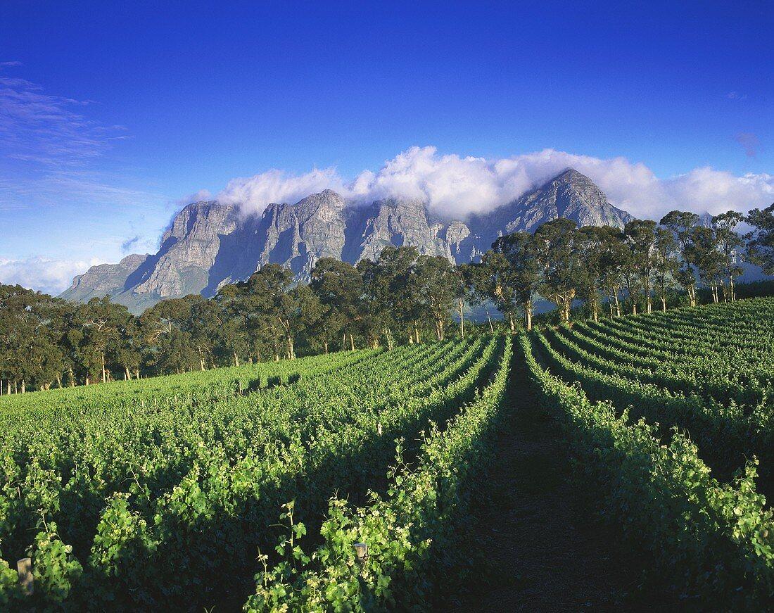 Thelema Mountain Vineyards Winery, Stellenbosch, S. Africa