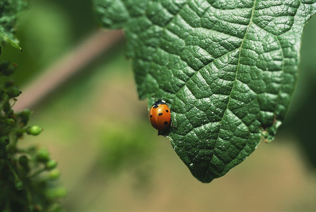 Ladybird in organic vineyard