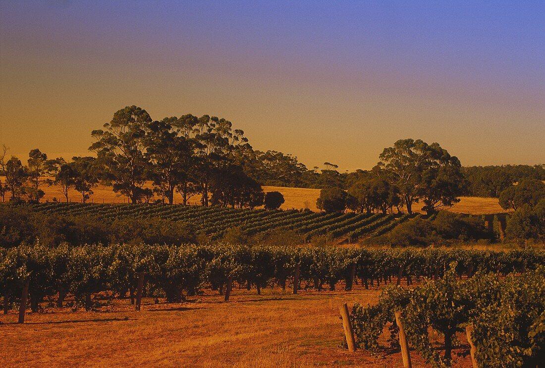 Evening in vineyard, Leeuwin Estate, W. Australia