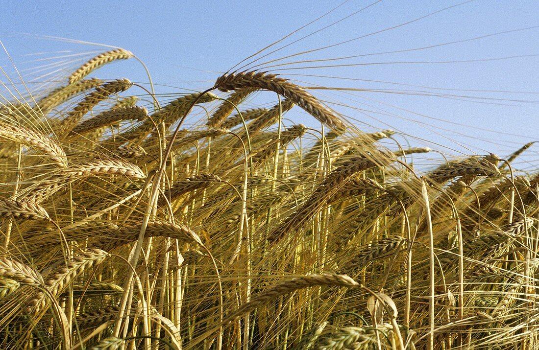 Field of barley with ears of barley against blue sky